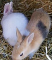 Belgian Hare Rabbit Babies  BH21,  Dorset