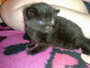 1 kitten for sale  stockwell