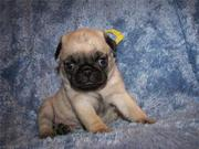 Adorable and cute pug puppies for new homes